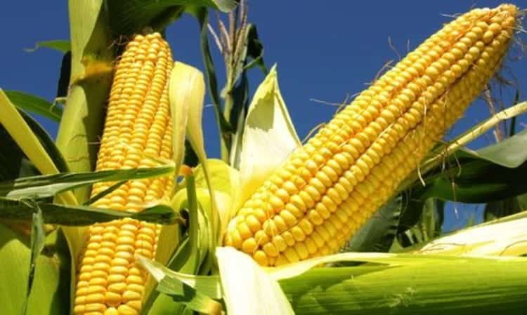 Выращивание кукурузы в ссср 48