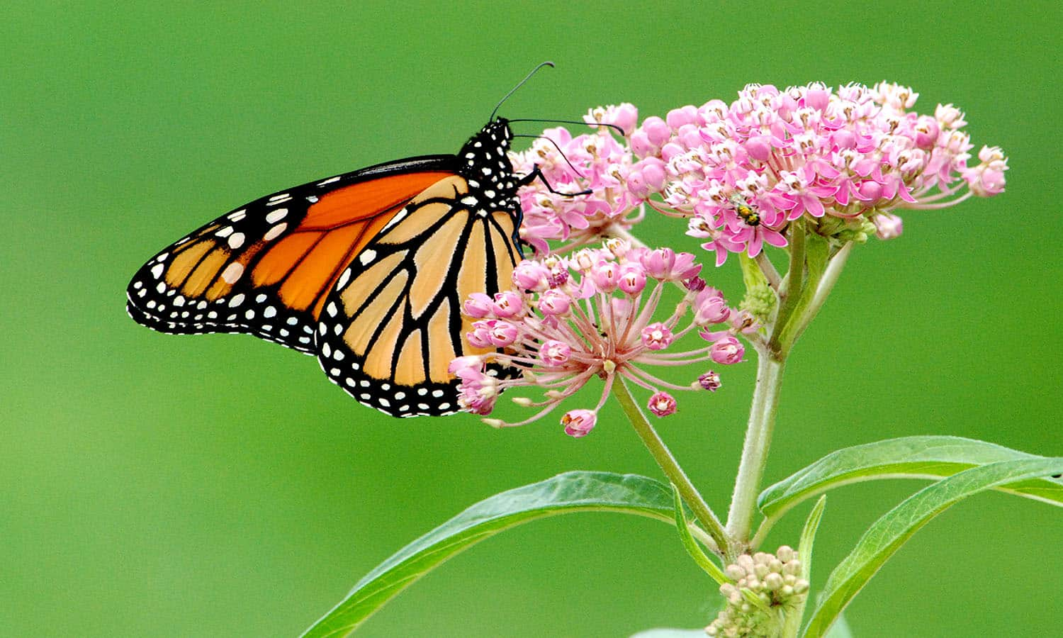Even though National Pollinator Week ended in June, supporting monarch butterflies is still important in the late summer and fall.