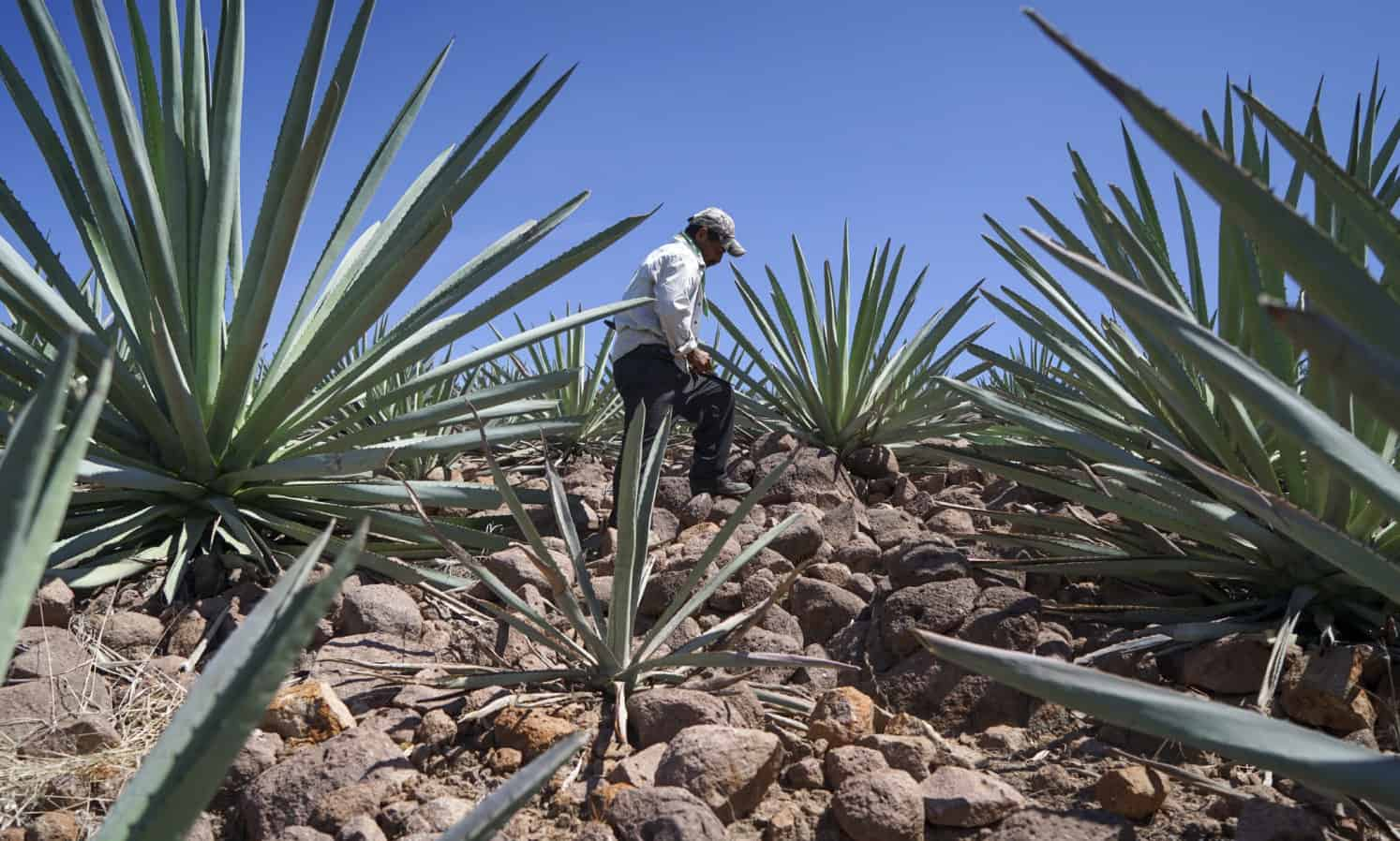 Sombra Mezcal Founder Richard Betts discusses the environmental impact of mezcal production and how he aims to make it more sustainable.