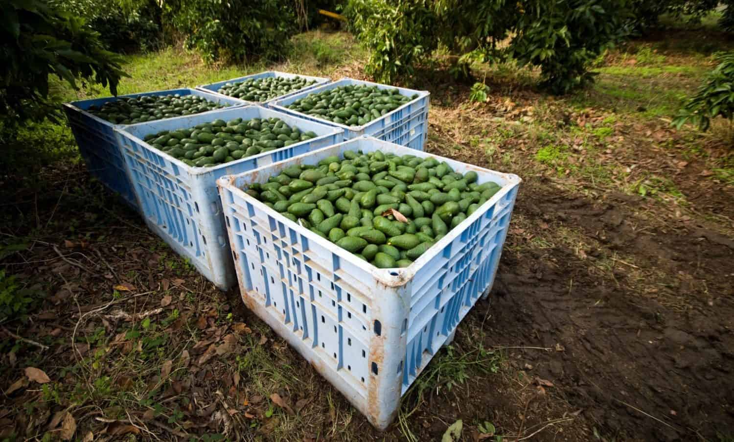 Avocado exporting regions in Michoacán, Mexico, are at a heightened risk of fire due to deforestation.