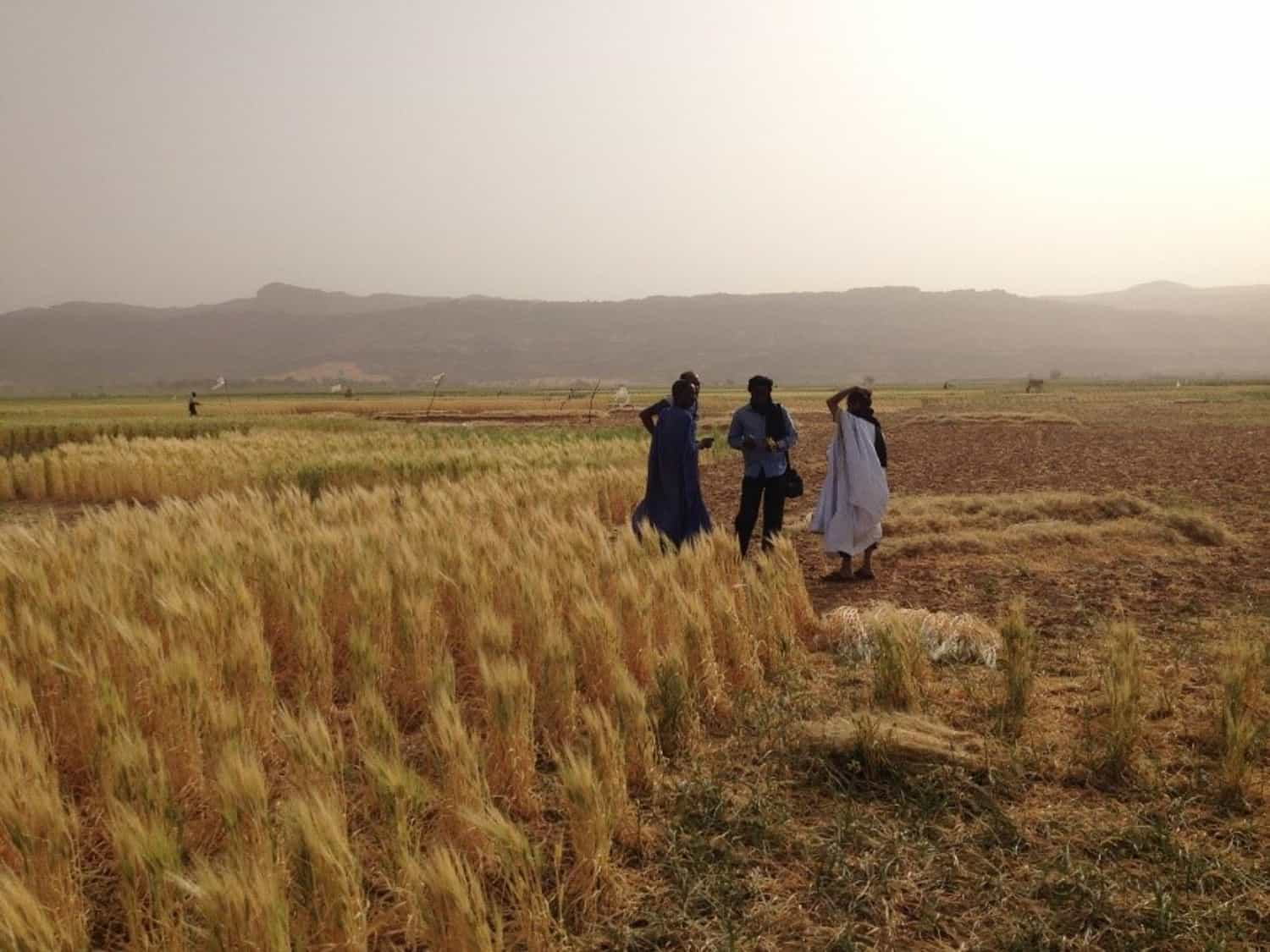 How primitive wheat helped a team of scientists to build heat tolerant durum wheat varieties for the Senegal River Basin.