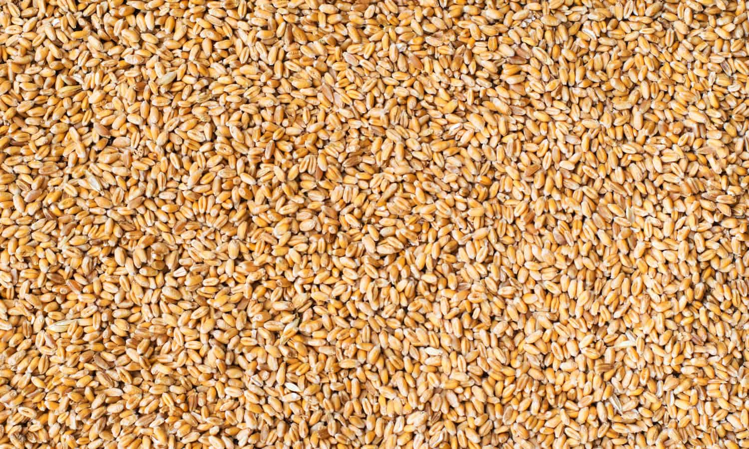 Amber Lambke, President of Maine Grains, Inc., discusses how the company is stimulating its local economy by looking to the past.