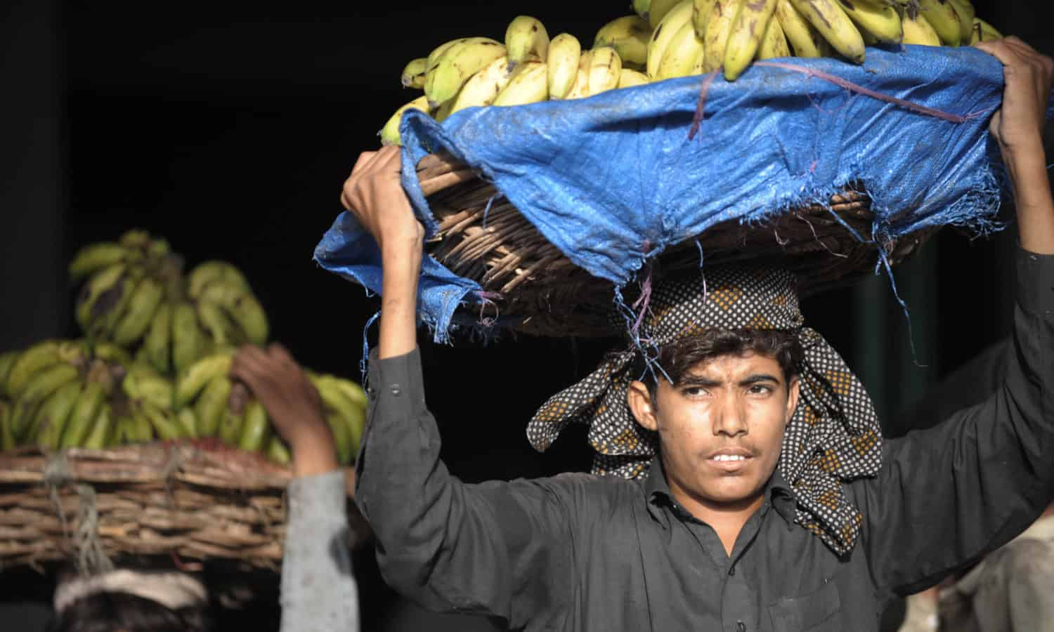 Unless it is contained, a new strain of the destructive Fusarium wilt disease threatens banana crops around the world