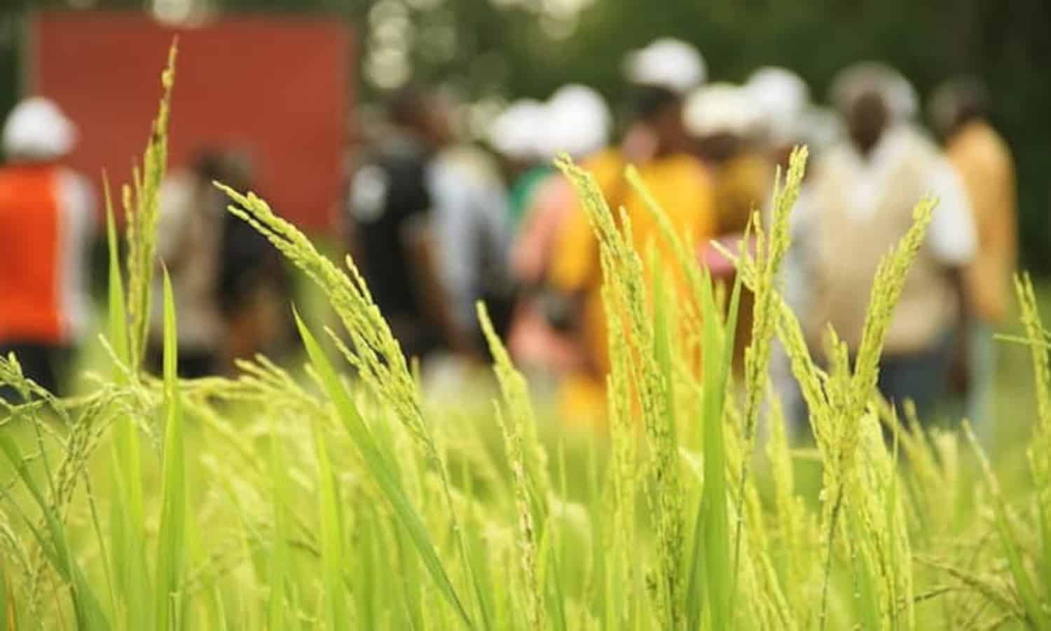 Here's an interesting article about how the System of Rice Intensification (SRI) is helping farmers in Mali deal with climate change.