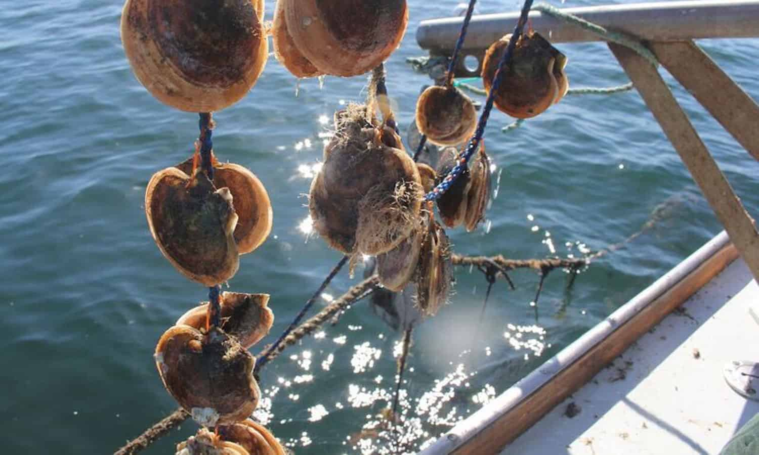 Maine's Coastal Enterprises Inc. invests in specialized machinery from Japan to develop scallop farming and keep up with demand.
