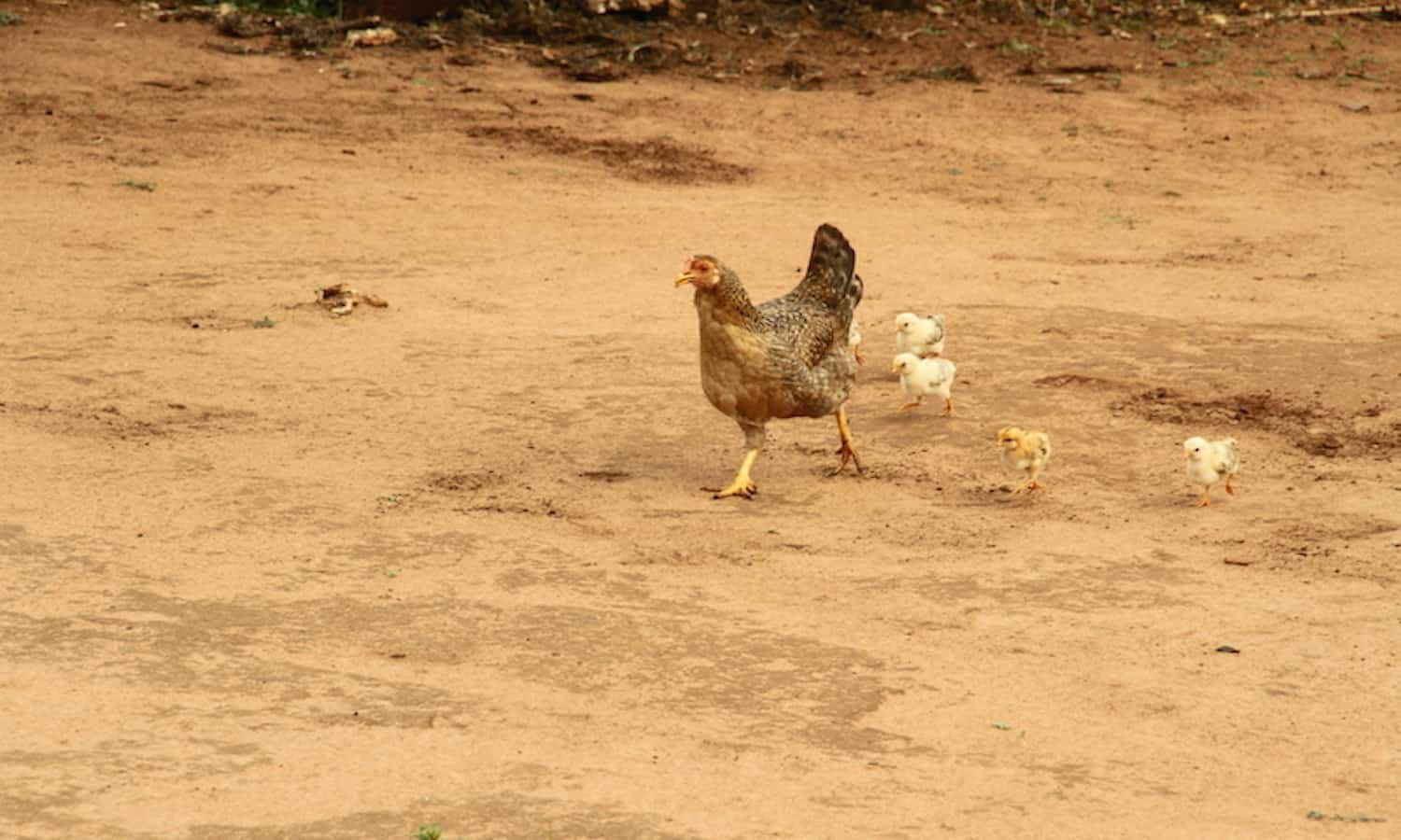 These two articles describe how raising animals could help improve incomes among farmers in Mali—particularly women farmers.