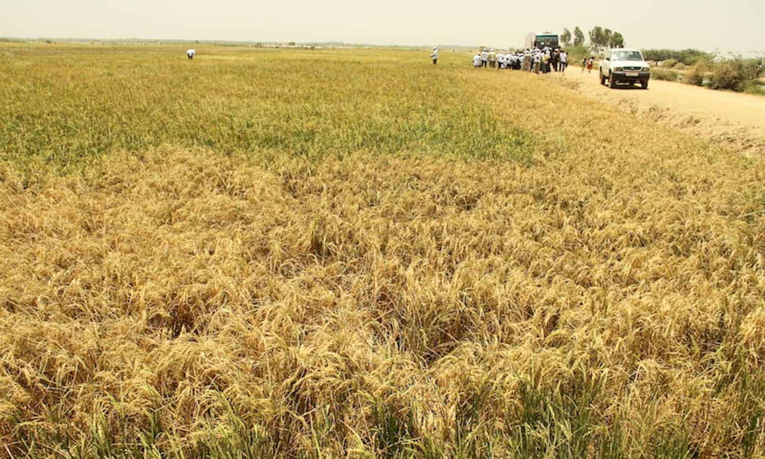 With regional recognition, CERAAS in Senegal plans to expand its efforts to adapt dry cereals to drought conditions throughout West and Central Africa.