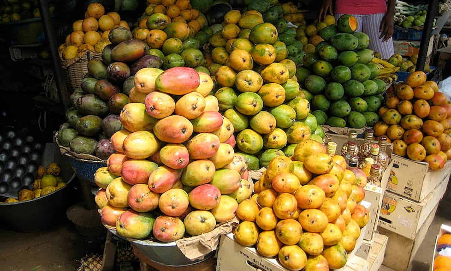 Mango growers gain access to an integrated pest management package to fight against their greatest enemy: the fruit fly