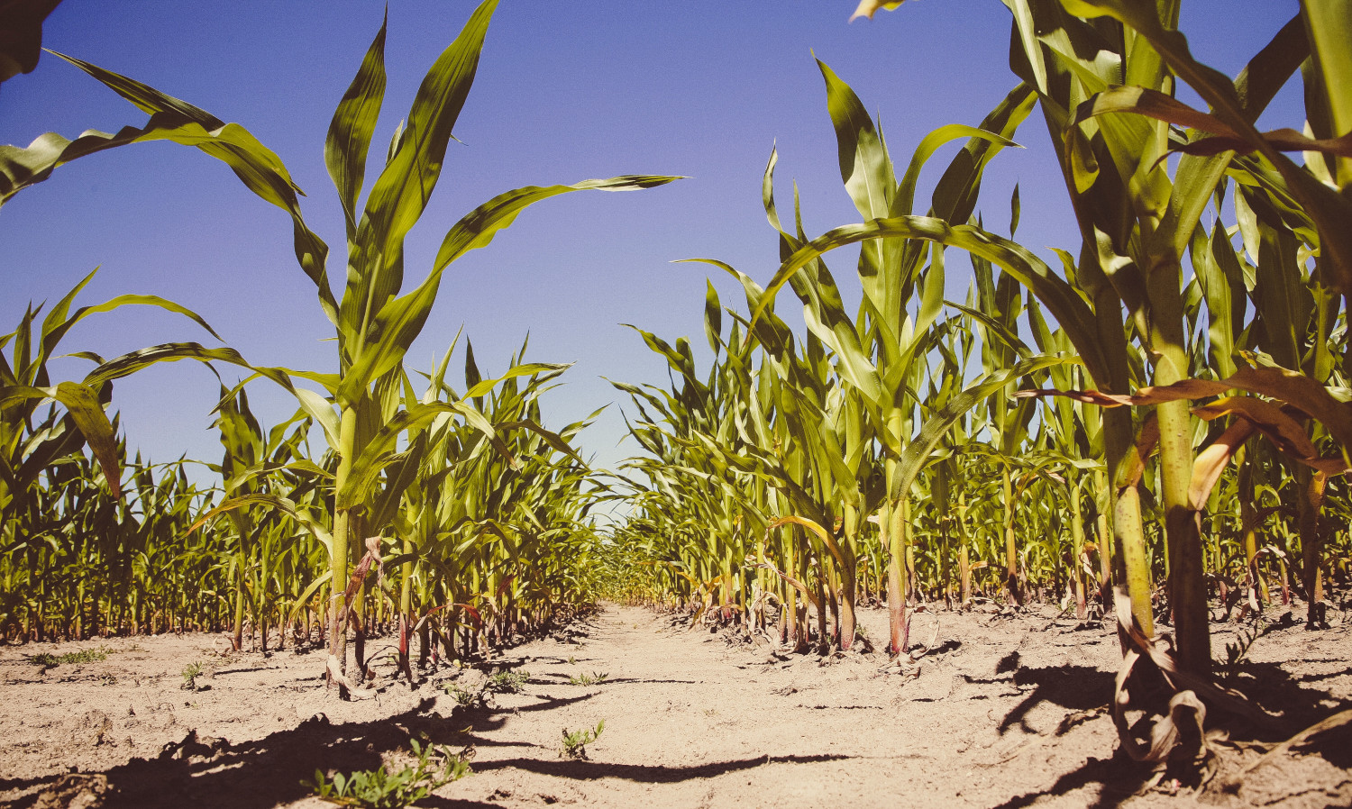 Corn is a staple food around the world. More plants should receive attention for cultivation and food security.