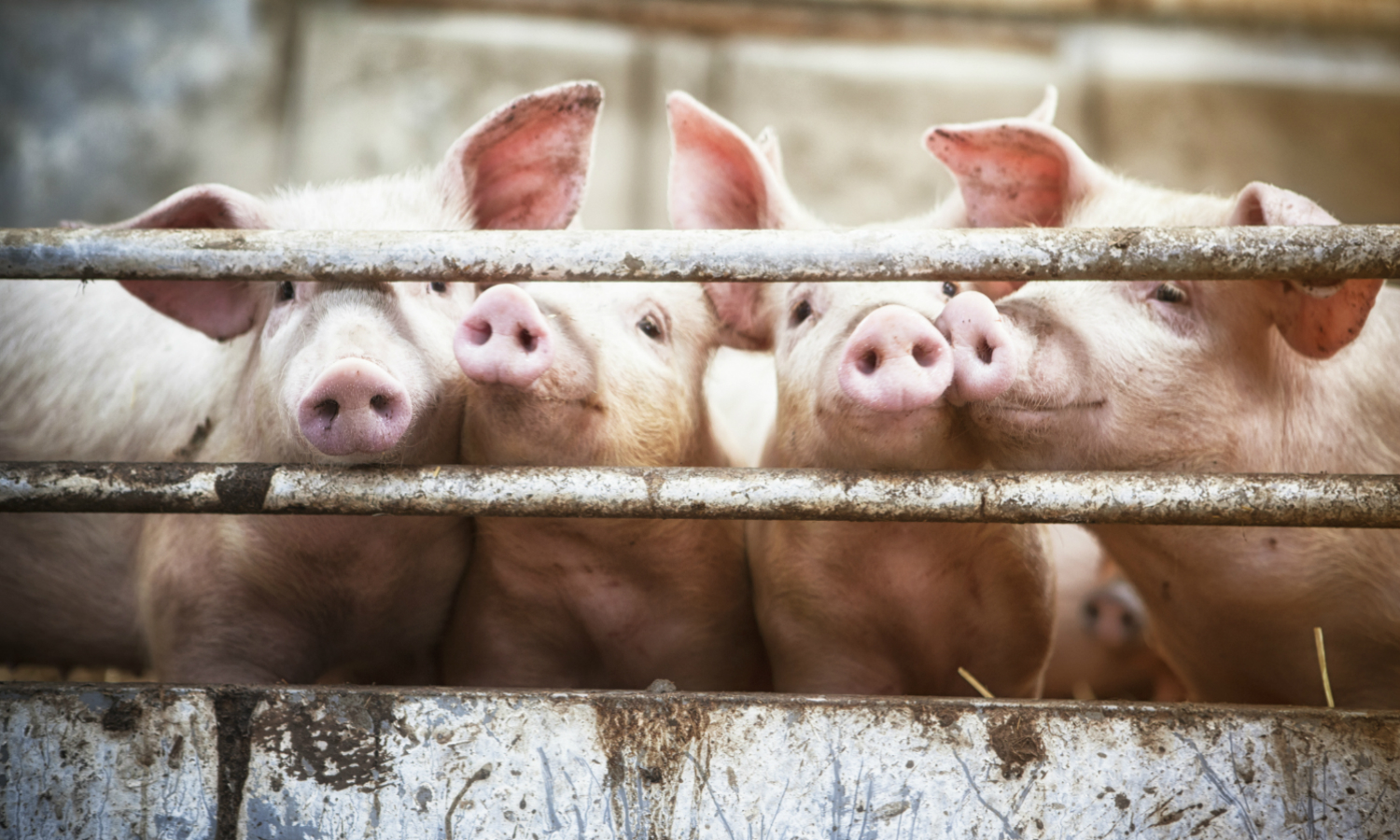 Half the World's Pigs Are Facing the Largest Animal Disease Outbreak