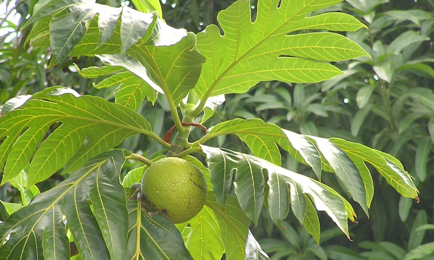 Trees that Feed is using breadfruit trees to combat food insecurity