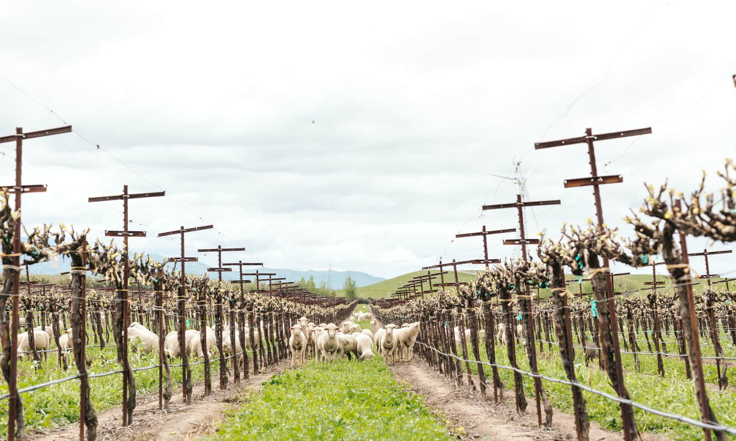 In this month's Niman Ranch Farmer Friday Feature, we talk with Jeanne McCormack of Dan McCormack Ranch about her family's lamb ranch in the Montezuma Hills.