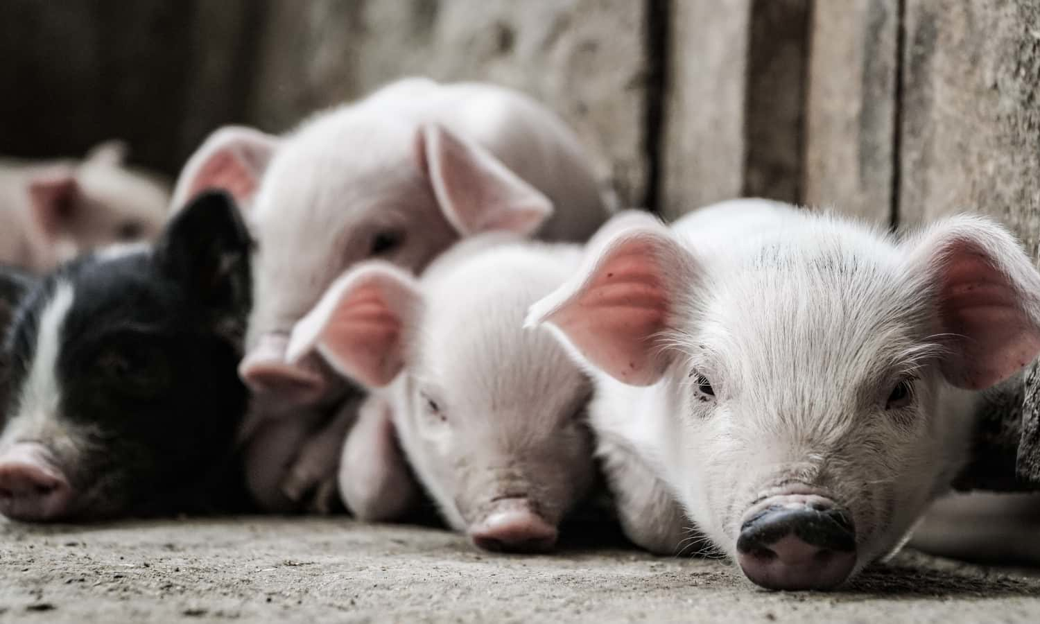 Hog farmers are still working through the long term effects of pork processing COVID-19 related plant closures.