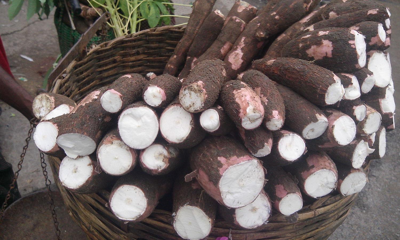 Does Kenya Need GMO Cassava?