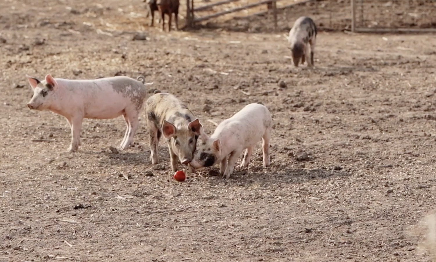 Bigger Is Not Always Better-Farming and Sustainability with Niman Ranch