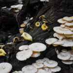 Ecologists Use Mushrooms to Detoxify Soil and Water After Wildfires