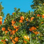 Florida Researchers Aim to Help Farmers Save Harvests From Fruit Drop
